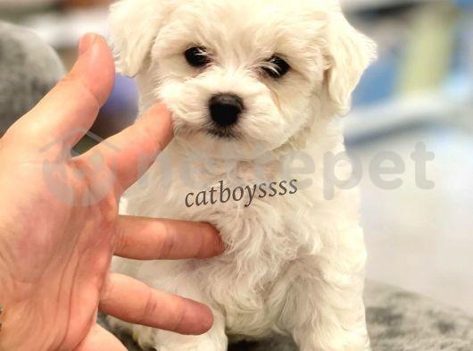 0 numara maltese terrier yavru @catboyssss da