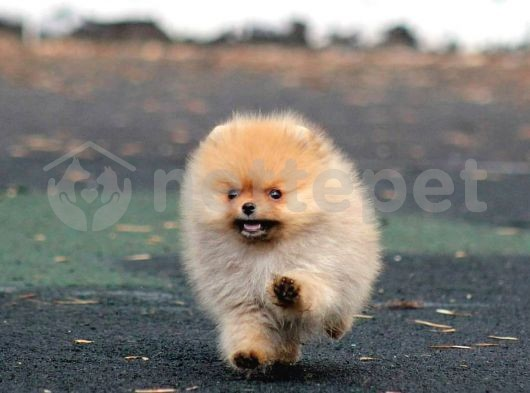 Teddy surat Pomeranian