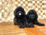 Black Toy Poodle Yavru