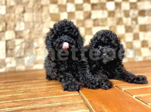 Black Toy Poodle Yavru