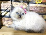 Efsane Blue Point British Shorthair Yavrumuz Quinn