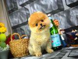 Çok Tatlı Sevimli Pomeranian Boo yavrumuz