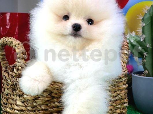 Oyuncu Sevecen Pomeranian Boo yavrumuz