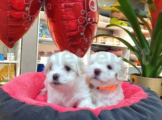 2 ve 3 aylık mikro çipli maltese yavrularımız