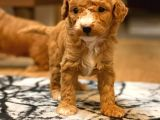 ANNE ALTINDAN MİNİ TOY POODLE YAVRULAR