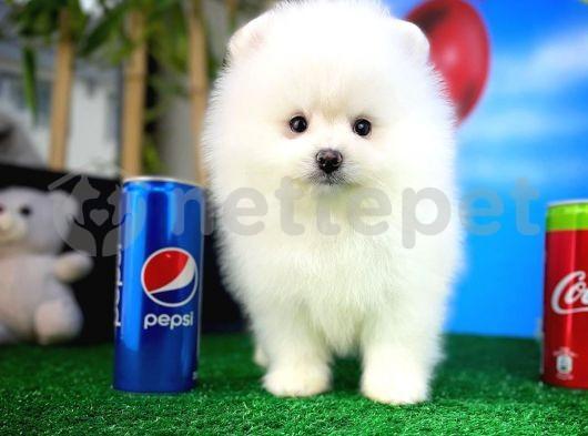 Güzeller güzeli oyuncu Pomeranian Boo yavrumuz