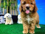 Muazzam Güzellikte Red Brown poodle yavrusu
