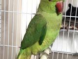 Pakistan papağani 9 aylik