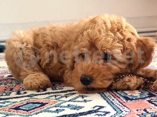 3 aylık dark apricot erkek toy poodle yavru @catboyssss da