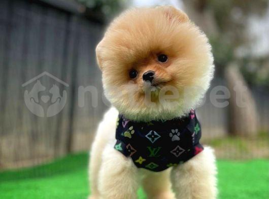 Orijinal Renk Yapısına Sahip Küt Burun PomeranianBoo Oğlumuz/İnstagram: pomeranianboodunyasi_