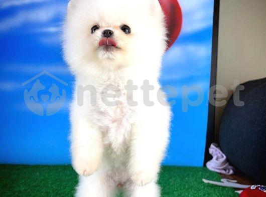 Pomeranian Boo Secereli Safkan
