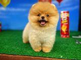 Yarışma düzeyi teddy bear pomeranian boo yavrularımız