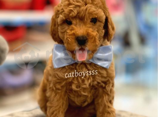 Toy poodle red erkek yavru @catboyssss da