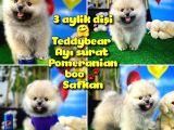 Teddyface Ayı surat Pomeranian boo Safkan Kızımız