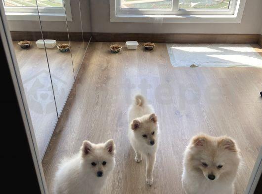 Pumerian beyaz yavrular