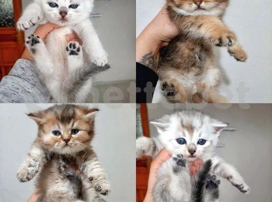 Teslime Hazır Irk Ve Sağlık Garantili Exotic kediYavrul