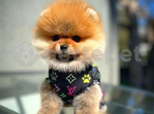 AB Pasaportuna Sahip Tüm Belgeleri Tam Pomeranian Yavruları