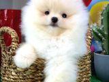 Pomeranian Boo Oyuncu ve Şirin