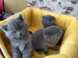 british shorthair ve scotish yavrular