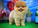 Sağlıklı Oyuncu Pomeranian Boo yavrumuz