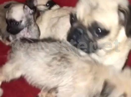 2 aylık erkek pug yavrular