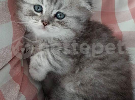 Silver Tabby oyuncu kediler yeni yuvalarını arıyor...