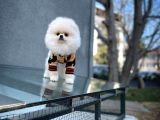 Çirkinlik Evresindeki 4.5 Aylık Erkek PomeranianBoo Oğlumuz