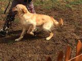 Profesyonel egitimli golden cinsi köpeğimiz