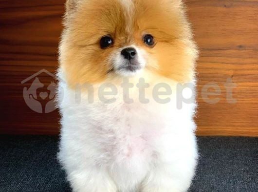 Ender renkte ve güzellikte Partycolor Pomeranian Boo yavrumuz
