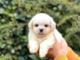 Maltese Terrier Mini Yavrumuz