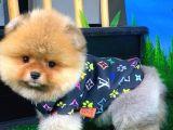 Asil Renkte Pomeranian Boo yavrumuz