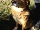 Golden ve Labrador Kırması Yetişkin Oğlan