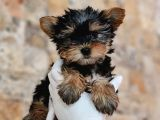 Mini Yorkshire Terrier Yavrular