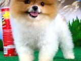 Özel renk yapısına sahip yarışma düzeyi Pomeranian boo yavrumuz