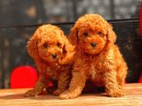 RED BROWN TOY POODLE BEBEKLERİMİZ