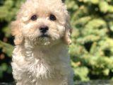 Tatli Betty Toy Poodle Yavrumuz