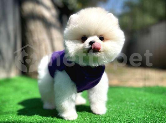 En Güzelinden Pomeranian Boo yavrumuz