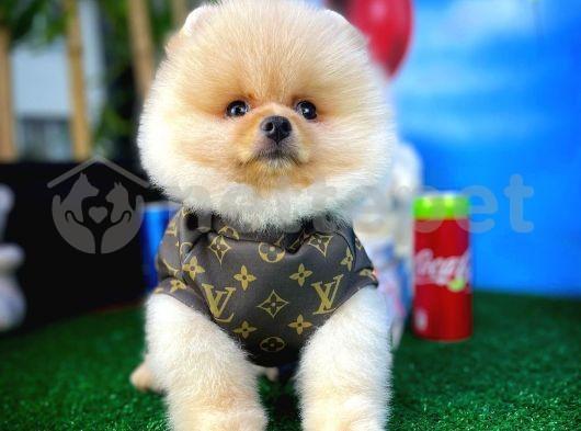 Küt Burun Yapısına Sahip PomeranianBoo Oğlumuz