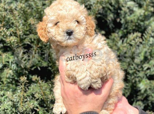 Apricot toy poodle bebekler @catboyssss da