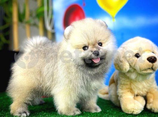 Ailenizine Moral Enerji Pomeranian Boo yavrumuz