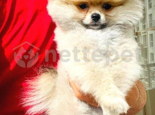 Ailenizin Neşesi Pomeranian Boo yavrumuz