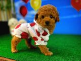 Orjinal Güzellikte Safkan Toy Poodle yavrumuz