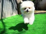 Sağlıklı Irk özelliklerine sahip Pomeranian Boo yavrumuz