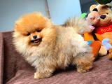 Teddy Bear Pomeranian Boo Kızımız