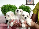 Teslime Hazır Irk Ve Sağlık Garantili maltese terrier yavruları
