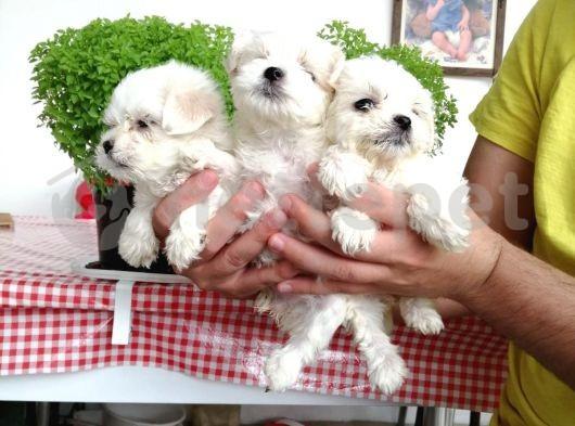 Orijinal ırk ve sağlık garantili 0 numara maltese terrier yavruları
