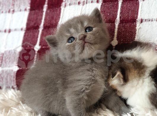 Silver ve bicolor british shorthair / scottish straight yavrular