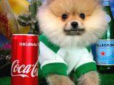 Secereli Orjinal Pomeranian Boo yavrumuz