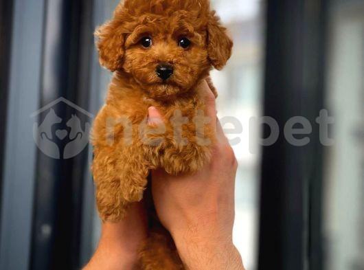 Mini Boy Muhteşem surat ve tüy yapısına sahip toy poodle yavrularımız