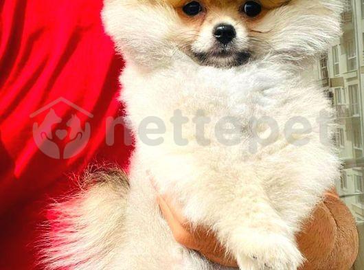 Asil Pomeranian Boo yavrumuz